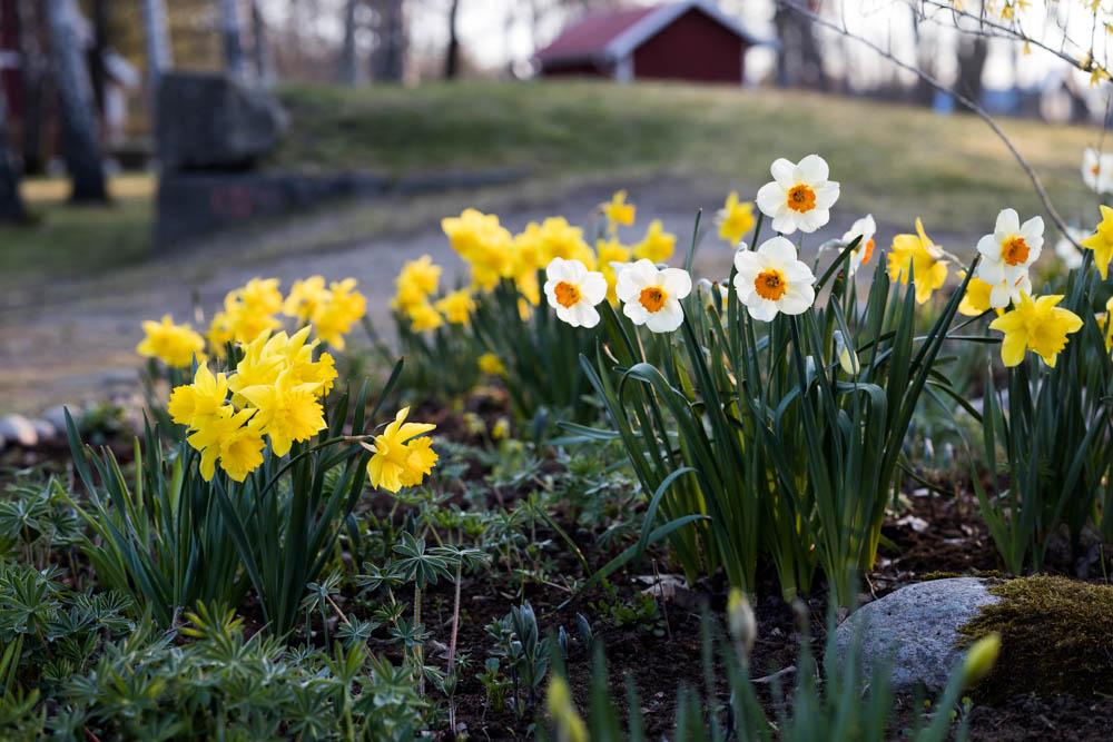 Lusthus och rabatt med påskliljor i Björboholmsparken vår 2021. Foto Johanna Ene.